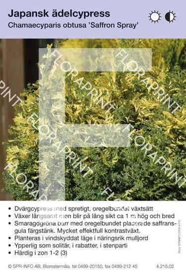 Chamaecyparis obtusa Saffron Spray