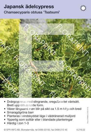 Chamaecyparis obtusa Tsatsumi