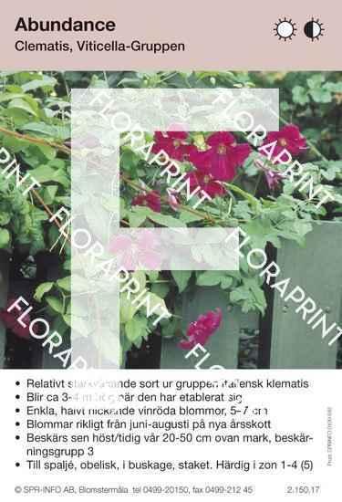 Clematis Abundance