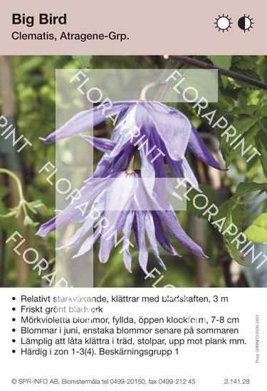 Clematis Big Bird