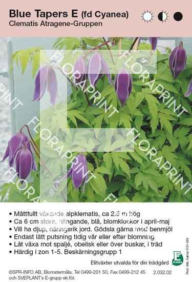 Clematis Blue Tapers (fd Cyanea) E