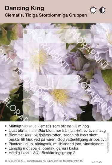 Clematis Dancing King
