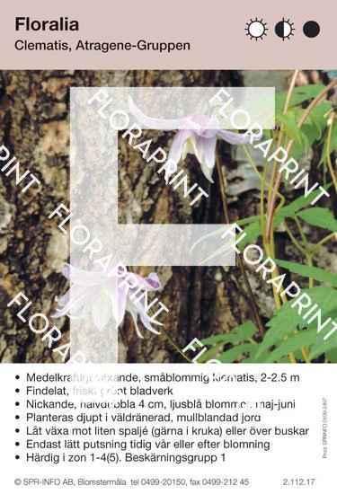 Clematis Floralia