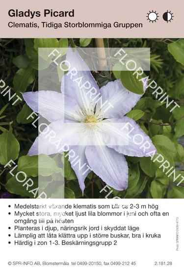 Clematis Gladys Picard