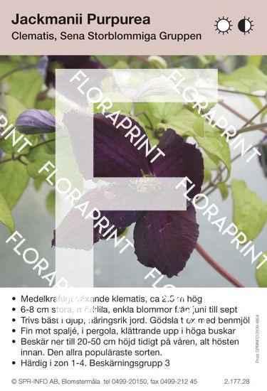 Clematis Jackmanii Purpurea
