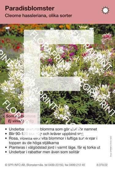 Cleome hassleriana