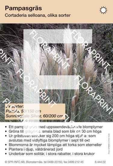 Cortaderia selloana (sorter:)