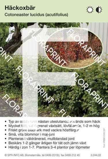 Cotoneaster lucidus (fd acutifolius)