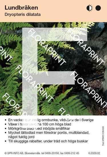Dryopteris dilatata
