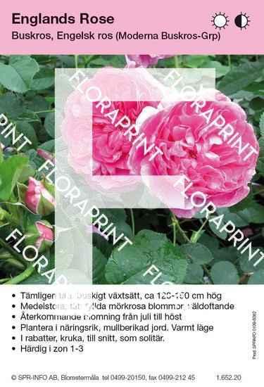 Englands Rose