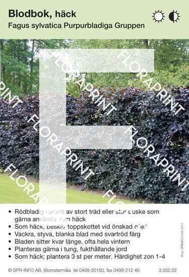 Fagus sylvatica Purpurbladiga Grp.