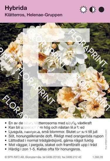 Hybrida (Rosa helenae Hybrida)