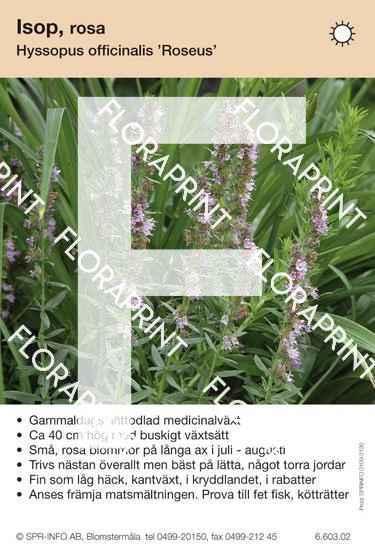 Hyssopus officinalis Roseus