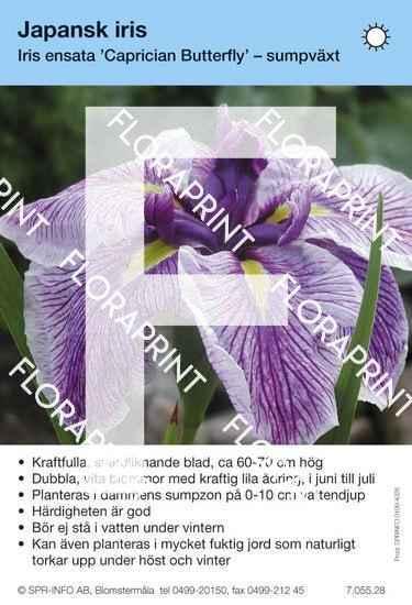 Iris ensata Caprician Butterfly
