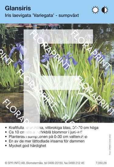 Iris laevigata Variegata