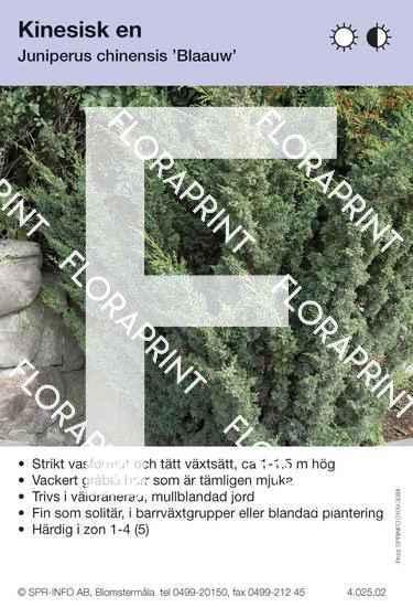 Juniperus chin Blaauw