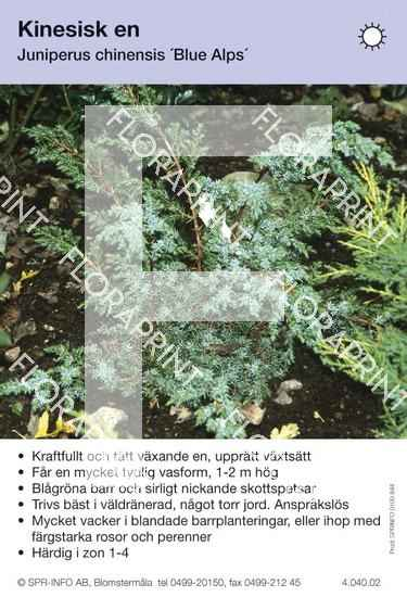 Juniperus chin Blue Alps