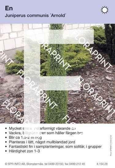 Juniperus com Arnold