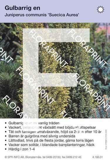 Juniperus com f. suecica aurea
