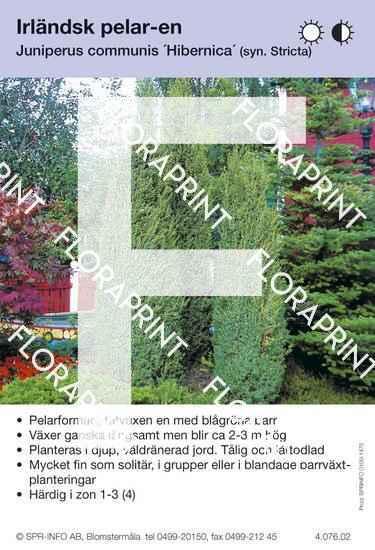 Juniperus com Hibernica