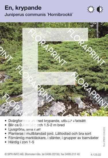 Juniperus com Hornibrookii