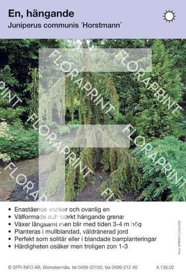 Juniperus com Horstmann