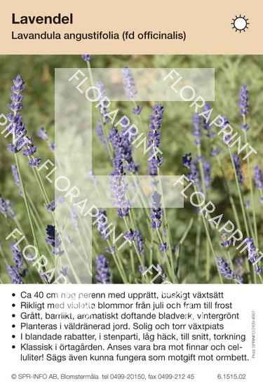 Lavandula angustifolia (officinalis)