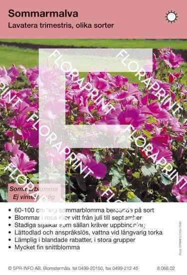 Lavatera trimestris