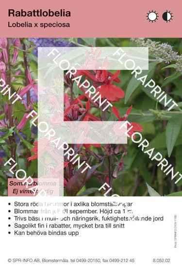 Lobelia speciosa