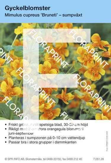 Mimulus cupreus Bruneti