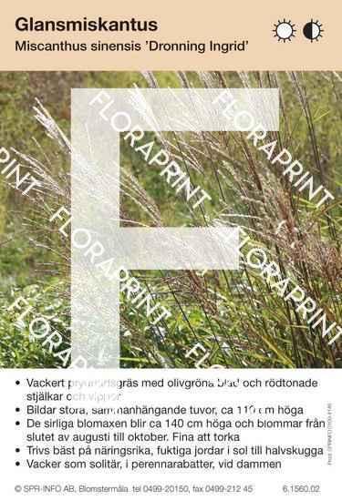 Miscanthus sinensis Dronning Ingrid