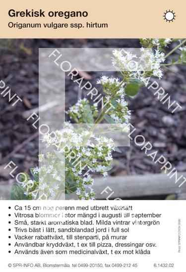 Origanum vulgare ssp hirtum