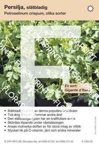 Petroselinum crispum slätbladig