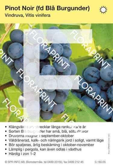 Pinot Noir (Blå Burgunder)