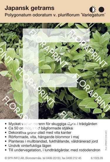 Polygonatum odoratum v  plur  Variegatum