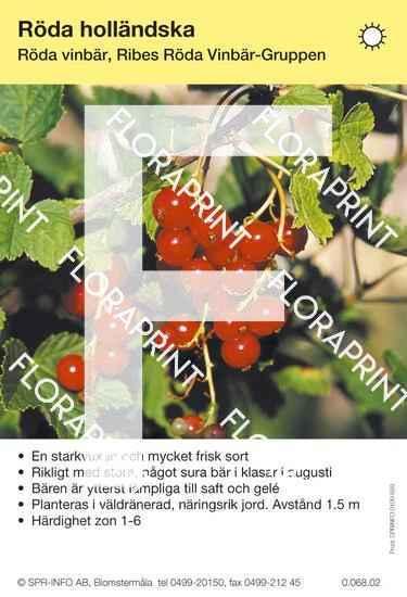 Röda Holländska