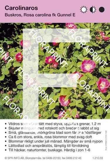 Rosa carolina fk Gunnel E