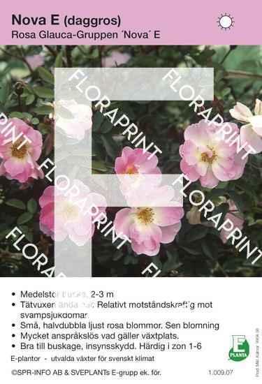Rosa glauca Nova E