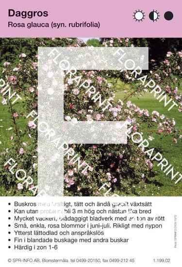 Rosa glauca (syn R. rubrifolia)