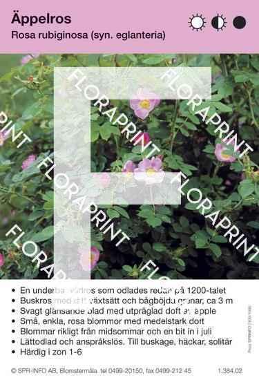 Rosa rubiginosa ( fd eglanteria)