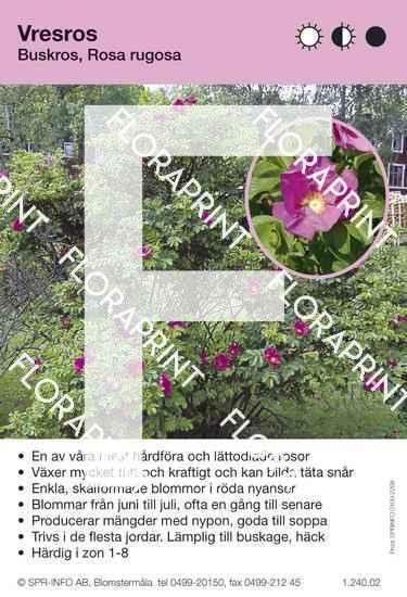Rosa rugosa (buske)
