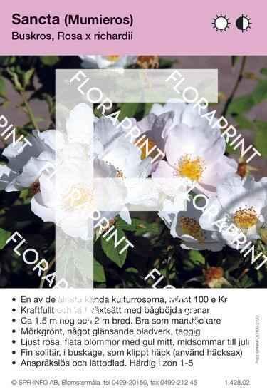 Rosa Sancta