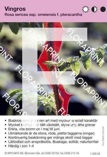 Rosa sericea ssp. (vingros)