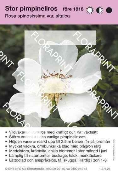 Rosa spinosissima v. altaica