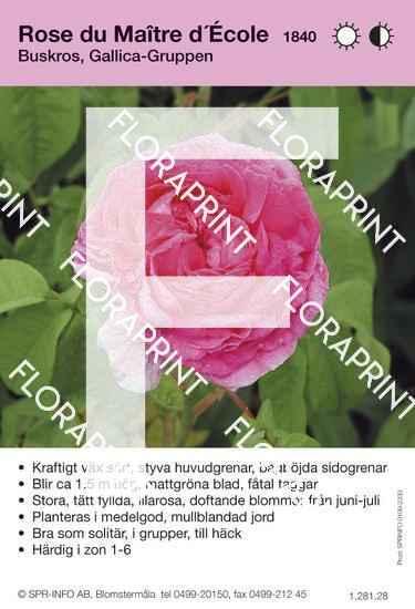 Rose du Maître d´École