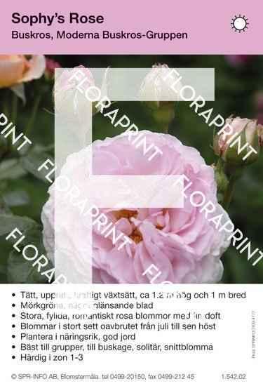 Sophy´s Rose