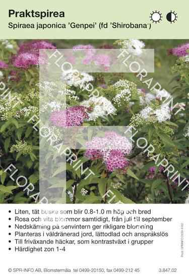 Spiraea japonica Genpei (fd Shirobana)