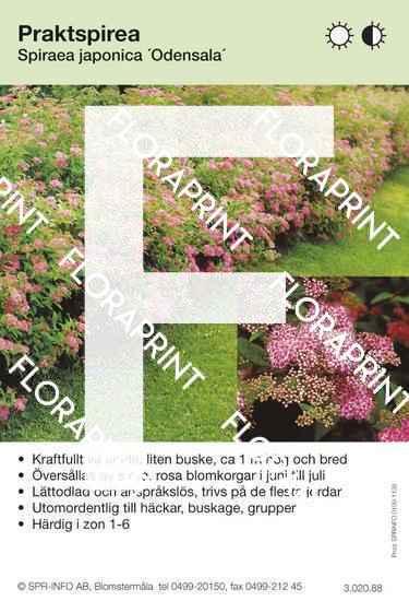 Spiraea japonica Odensala