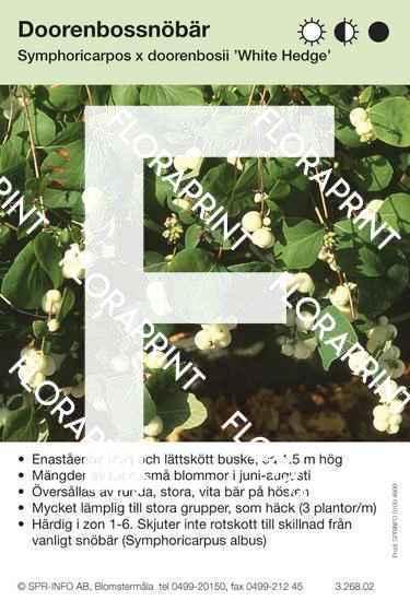 Symphoricarpos x doorenbosii White hedge