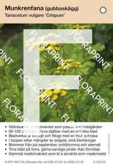 Tanacetum vulgare Crispum